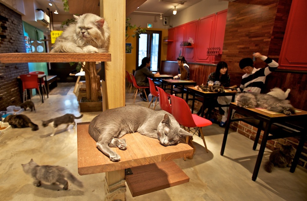 In Seoul cat cafe customers can pet cats while a clowder nonchalantly roam around, sleep or rest on perches